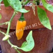 PEPPER 'Bulgarian Carrot' (Heirloom)