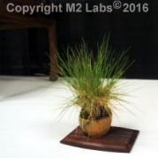 Tiny accent plant (fescue)