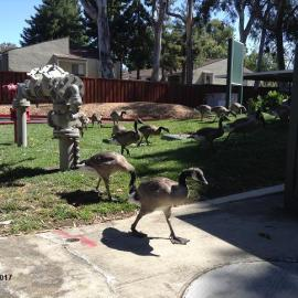 Family of Geese (6.14.17)-3