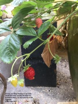 CONJUNGLE Alpine strawberry (9.29.2021)-2