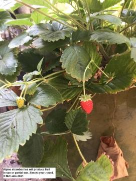 CONJUNGLE Alpine strawberry (9.29.2021)-3